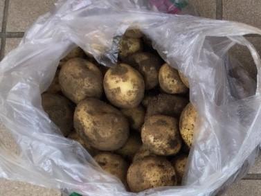 こぎ叔父からいただいたじゃがいもです。ビニール袋にいっぱい。キタアカリという品種だそうです。