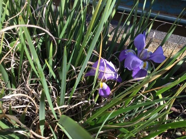 こーぎー家の庭に咲いた寒あやめです。