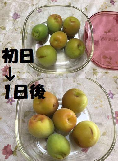 1日で黄色く追熟した梅の実です。