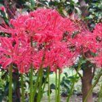真っ赤な彼岸花です。