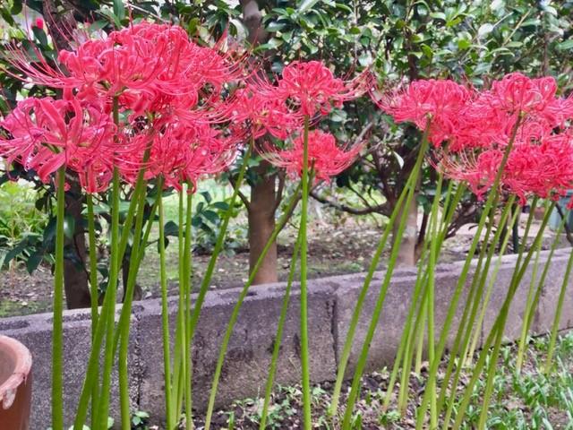 庭の満開の彼岸花です。