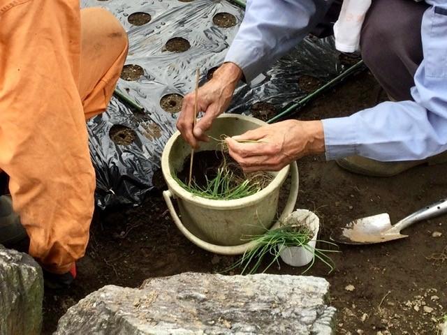 玉ねぎの苗を植えようとしています。