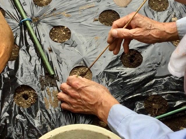 玉ねぎの苗を植えています。
