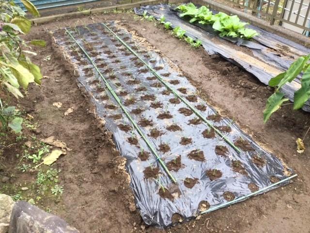 玉ねぎの苗を植えた畑です。