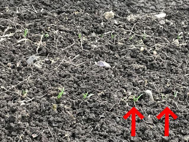 1ヶ月経って発芽したホウレン草