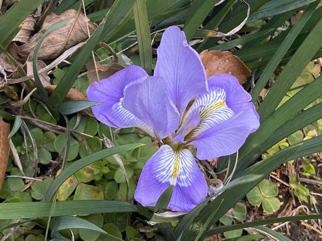 庭に咲いた寒あやめの写真