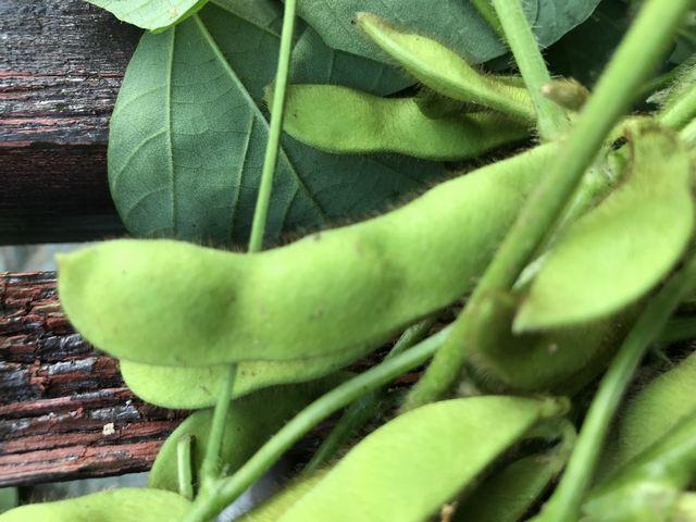 よく育った枝豆