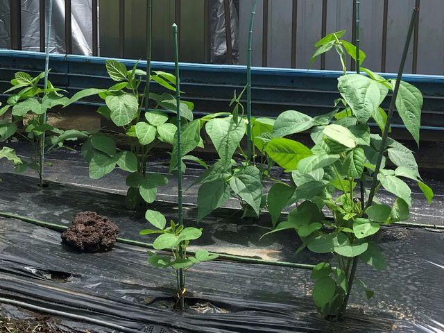 いんげんと枝豆